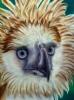 Philippinischer Adler_2